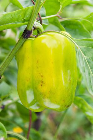 Green pepper on a bush. Plantation pepper. Stock Photo
