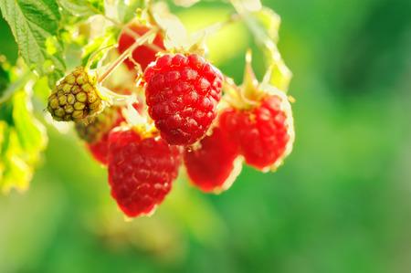 Growing Organic Berries Closeup. Ripe Raspberry In The Fruit Garden