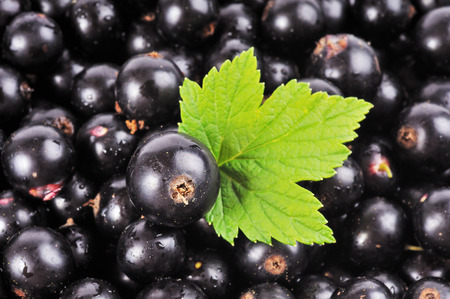 currant: black currant with green leaf.