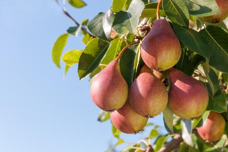 pera: Peras maduras en el árbol contra el cielo azul.