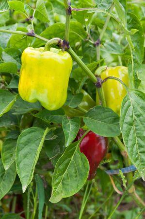 bush pepper: Green pepper on a bush. Plantation pepper. Stock Photo