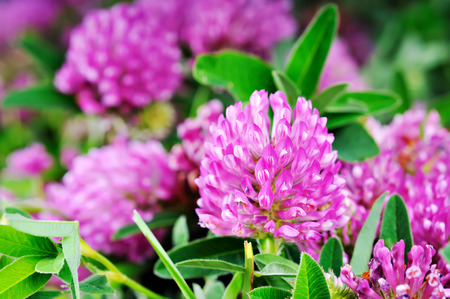 red clover: Clover flower close up on a background of green foliage.