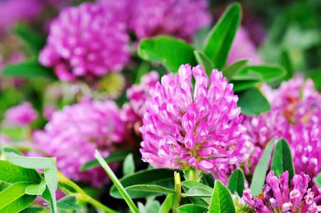 De bloem dichte omhooggaand van de klaver op een achtergrond van groen gebladerte. Stockfoto
