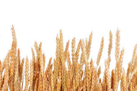 cultivo de trigo: Trigo en un fondo blanco. Cosecha de trigo.