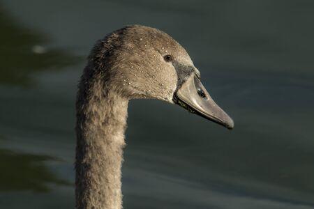 potrait: young swan potrait