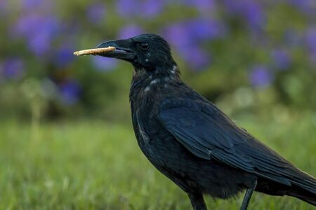 thieving: Raven steals a cookie Stock Photo