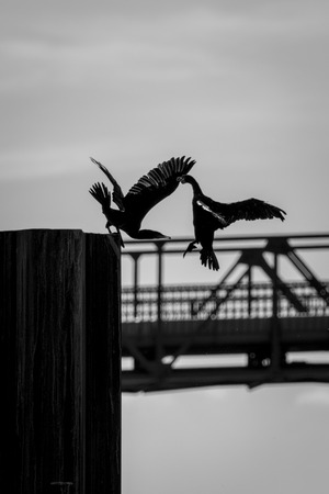 displace: Cormorants compete for their place