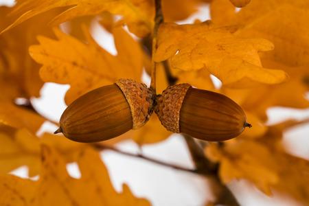 acorns: Acorns in autumn