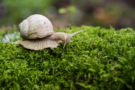 Land snail, Helix pomatia on bright green forest moss copyspace closeup Stock Photo