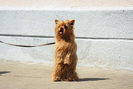 Hairy mug dog on leash standing on hind legs horizontal Stock Photo