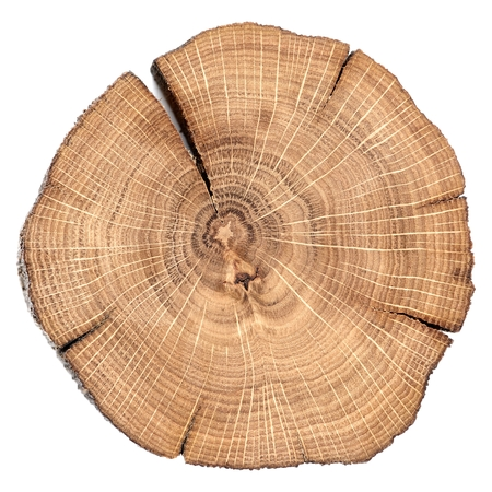 Oak cracked split with growth rings isolated overhead view macro