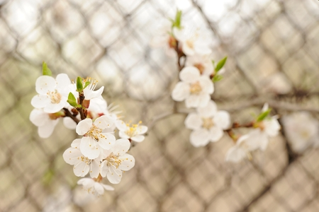 White cherry blossoms on branch against metal grid horizontal Stock Photo