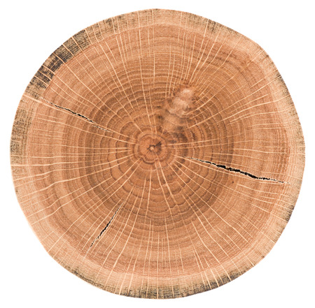 Oak tree slice. Wood slab with annual rings and cracks isolated on white background closeup
