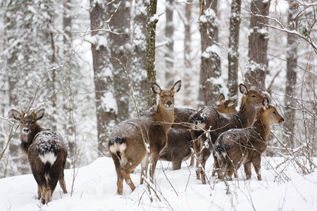 Wild animals in their natural habitat. Deer family in deep snow at winter forest selective focus