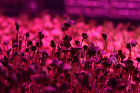 Cute microgreens plants growing in coconut coir in artificial light for healthy nutrition close up selective focus