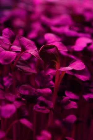 Vegetable greens growing in artificial light texture background. Microgreens for healthy nutrition concept closeup Stock fotó