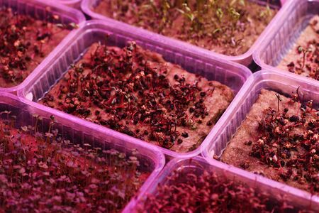 Microgreens growing for healthy nutrition concept. Seeds sprouting on coconut coir in containers in artificial light high angle view