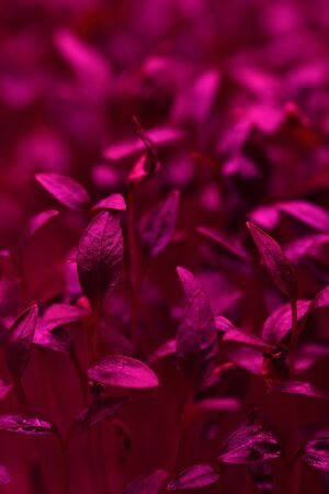 Microgreens growing. Close up of young tender leaves in artificial violet light selective focus texture background
