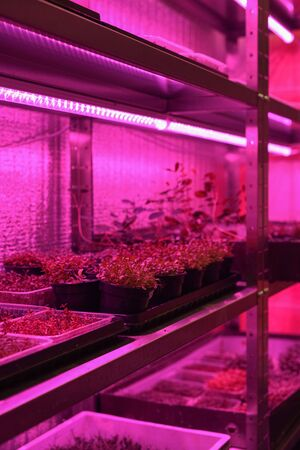 Indoor edible garden for growing microgreens in containers. Sprouting vegetable plants from seeds on shelves in artificial light vertical