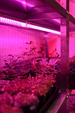 Indoor farm for growing microgreens. Sprouting vegetable plants from seeds in containers on shelves in artificial light vertical