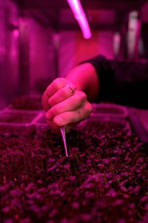 Organic microgreens indoor farm with artificial light. Man hand picking young plants with pincers copy space