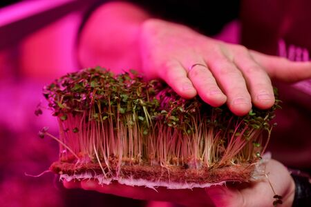 Indoor mustard microgreens growing concept. Man hands holding young sprouts on coconut growing medium in artificial light close up