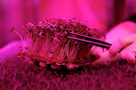 Growing organic mustard microgreens on coconut coir. Man hand picking young plants with pincers in artificial light selective focus