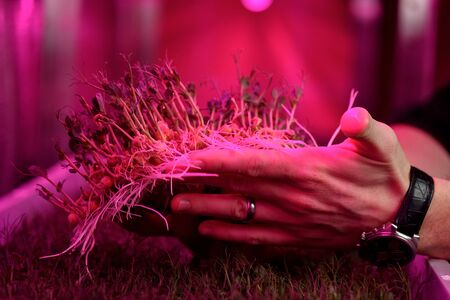 Indoor mustard microgreens growing concept. Man hands with young sprouted pea plants with leaves and roots on coconut growing medium in artificial light close up