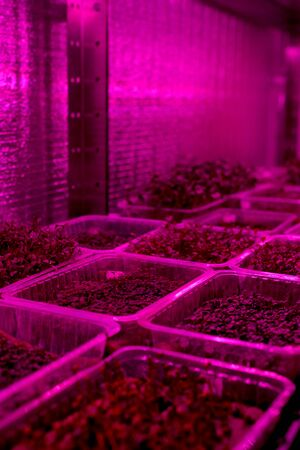 Indoor microgreens farm with artificial light. Plastic containers with young microgreens and sprouted seeds copy space