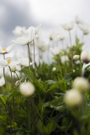 Anemone parviflora flowers in the meadow in sullen day. Windflower, thimbleweed. Beautiful spring time landscape Stock fotó