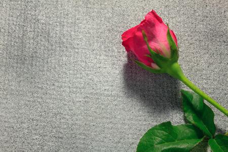 romance: pink rose on grey background.