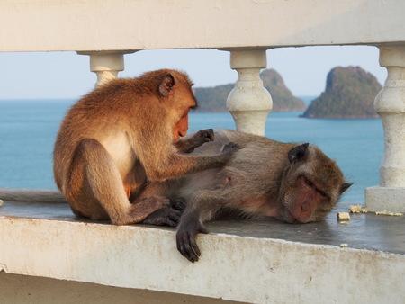 piojos: La cosecha del mono piojos de su amigo. Foto de archivo