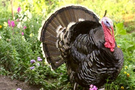 gobble: Wild Turkey Gobbler, in flowers Stock Photo