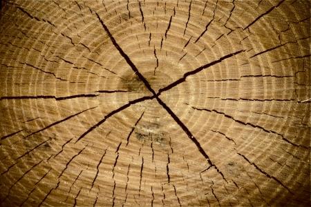 Beautiful texture of tree stump a Oak Tree photo