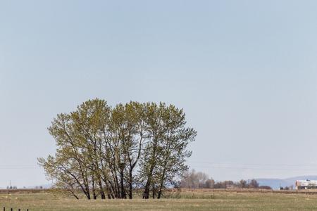 Tree in Field in Alberta