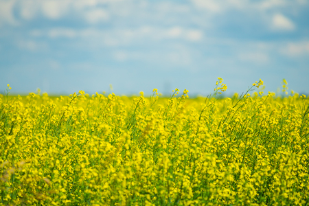 Canola Organic Farm in full bloom and ready for harvest