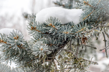 Pine tree branches covered with snow and frost in cold tones. photo