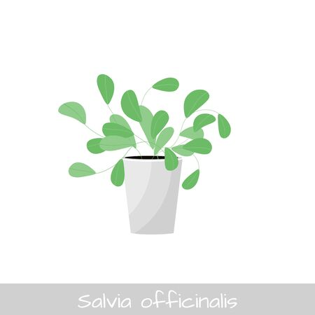 Vector Illustration. Plant in pot. Salvia Officinalis flower. Flat style
