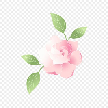 Isolated pink flower. Vector floral element. Cute romantic Gardenia for wedding card on transparent background. Vector Illustration