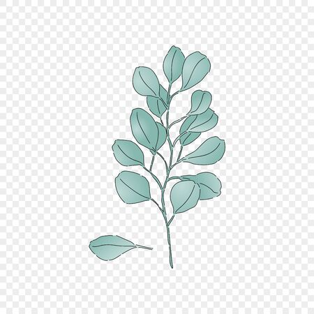 Isolated floral eucalyptus branch. Organic ecological element for design wedding card, birthday poster or pattern. Vector Illustration