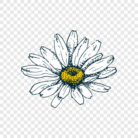 Isolated cute daisy head flower. Hand draw chamomile. Yellow white floral marquerite in simple flat style on transparent background. Vector printable Illustration