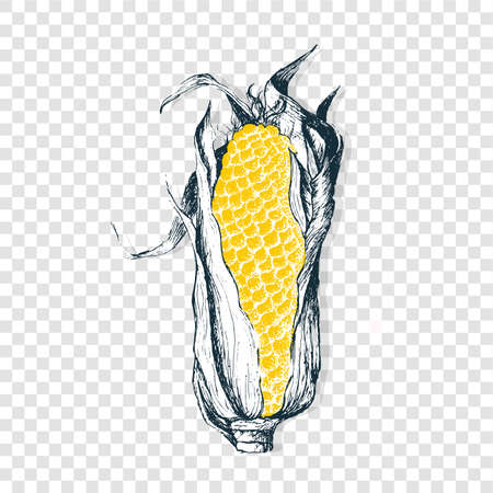 Isolated hand draw corn. Vector healthy food. Organic yellow antioxidant in modern style. Illustration on transparent background