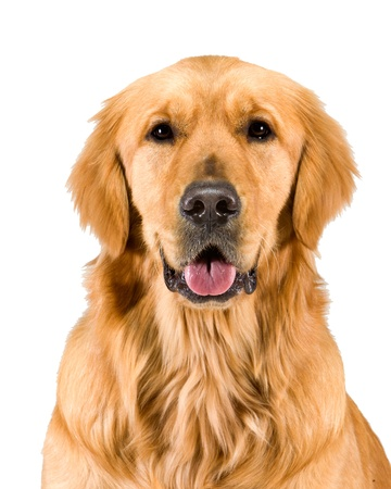 golden: Golden Retriever Head & Shoulders Stock Photo