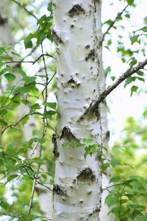 森の中で白樺の木。