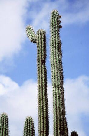 Close-up van het groen cactus.
