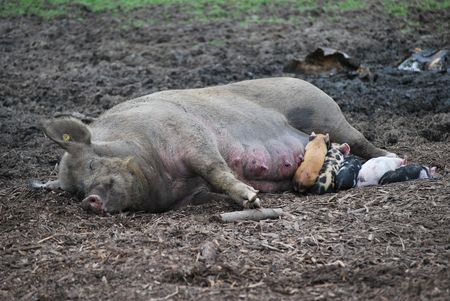 Baby pigs nursing their mother.