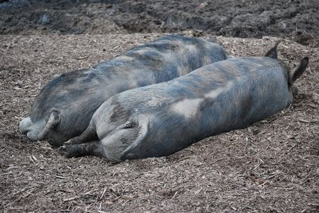 Pigs sleeping on the farm.