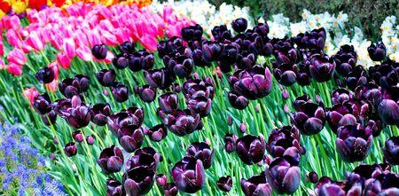 netherlands: Tulip field in amsterdam, netherlands.
