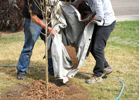 Professional gardeners planting a new tree outside.