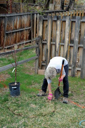 plantando un arbol: Mujer madura jardinero plantando un �rbol afuera.